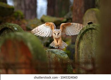 Urban wildlife. Magic bird Barn owl, Tyto alba, flying above stone fence in forest cemetery. Wildlife scene from nature. Animal behaviour in wood.