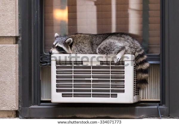 Urban Wildlife: raccoon sleeping on air conditioner