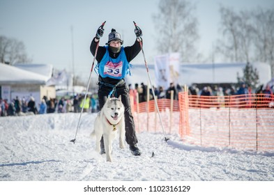 Urban-type settlement Reshetiha, Nizhny Novgorod Oblast / Russia - 03.03.2013: Sled dog race. Team consists of man musher and one Siberian Husky breed dog. Skijoring kind of sport.