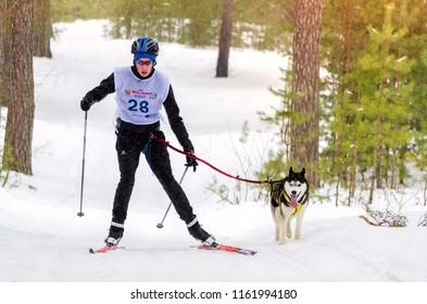 Urban-type settlement Reshetiha, Nizhny Novgorod Oblast / Russia - 02.27.2016: Sled dog race. Team consists of man musher and one Siberian Husky breed dog. Skijoring kind of sport.