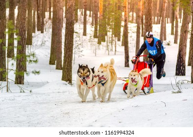 Urban-type settlement Reshetiha, Nizhny Novgorod Oblast / Russia - 02.27.2016: Sled dog racing. Team consists of man musher and one Siberian Husky breed dog. Skijoring kind of sport.