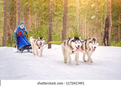 Urban-type settlement Reshetiha, Nizhny Novgorod Oblast / Russia - 02.27.2016: Sled dog racing. Team consists of woman musher and three Siberian Husky breed dogs. Pine forest background.