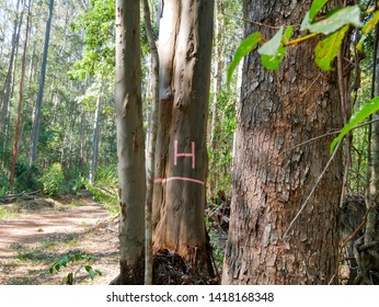 URBANVILLE, NEW SOUTH WALES, AUSTRALIA: Habitat tree marked to be retained in forest logging to provide wildlife habitat and seed source for regeneration of the forest and protect forest ecology.