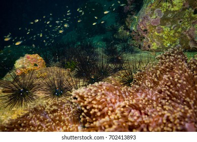 Urchin on coral reef of Koh Tao