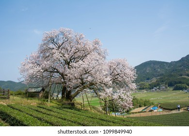 Ureshino city Saga prefecture JAPAN - March 23 2018: Cherry blossom - Hundred-years-cherry - are blooming on the hill in rural area.