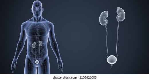 Urinary System zoom with Anatomy Anterior view 3d illustration