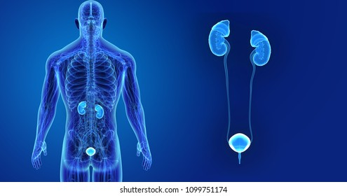 Urinary System zoom with Anatomy Posterior view 3d illustration