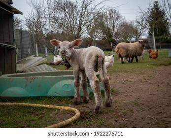 Mały uroczy baranek gambolling na łące w gospodarstwie, symbol świąt Wielkanocnych - Shutterstock ID 1922276711