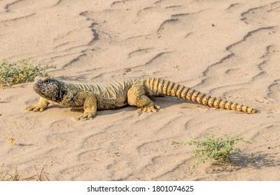 Uromastyx lizard or dabb lizar, Dubai. Protected shy reptile. German: Dornschwanz Eidechse.