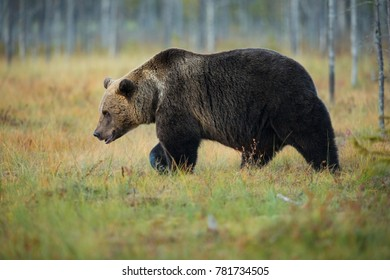 Ursus arctos. Brown bear in Finnish countryside. Autumn in Finland. Wildlife of Finland. Bear in the wild. A bear on a lake in Finland. Karelia Finland. Bear in the woods.