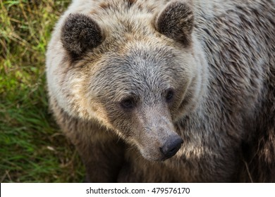 Ursus arctos close up
