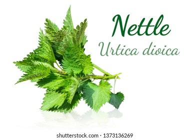 Urtica dioica, common nettle, stinging nettle, nettle leaf, or just a stinger, with text: Nettle Urtica dioica
