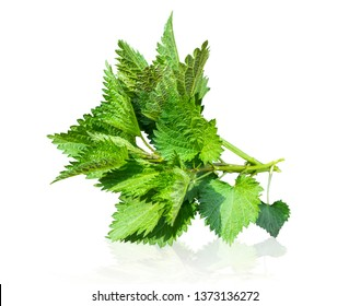 Urtica dioica, common nettle, stinging nettle, nettle leaf, or just a stinger