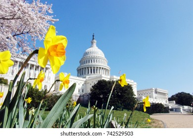 US Capitol in spring with daffodils