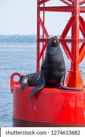 US, WA Puget Sound, California Sea Lion (Zalophus Californianus) poses on channel marker buoy