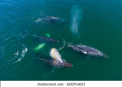 USA, Alaska, Aerial view of Humpback Whales (Megaptera novaeangliae) swimming together at surface of Frederick Sound while bubble net feeding on herring shoal on summer afternoon