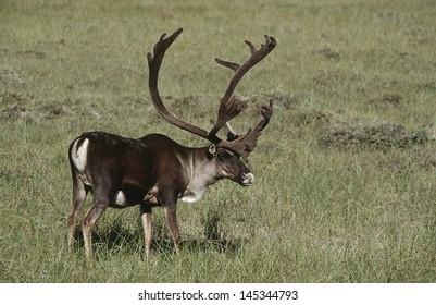USA Alaska Caribou standing on field