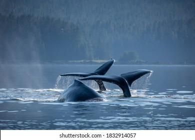 USA, Alaska, Humpback Whales (Megaptera novaeangliae) dive while bubble net feeding in Frederick Sound near Kupreanof Island