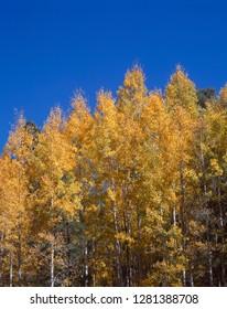 USA, Arizona, Grand Canyon National Park, North Rim. Autumn colored grove of quaking aspen.