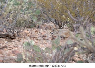 USA, Arizona, Tucson, Saguaro National Park, Sonora Desert Museum. Lone coyote in desert habitat (Captive, Canis latrans). .