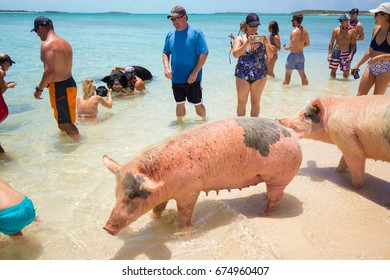 USA. BAHAMAS. PIG BEACH. JULY, 2017:Excursion to the island Pig Beach. Pigs in the Atlantic Ocean.