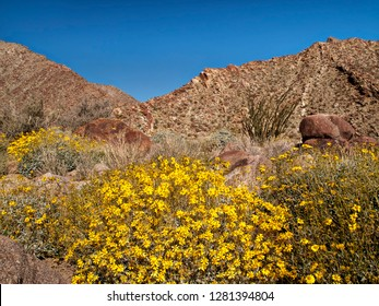 USA, California, Anza-Borrego Desert State Park. Brittlebush (Encelia farinosa) and ocotillo (Fouquieria Splendens) along the Palm Canyon Trail