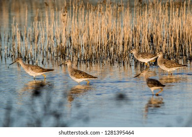 USA, California, Central Valley, San Joaquin River Valley, San Luis National Wildlife Refuge, wetlands and waterfowl, Lesser yellowlegs (Tringa flavipes) wading by the reeds