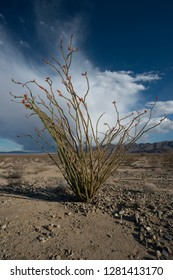 USA, California, Joshua Tree National Park. Ocotillo blooming against huge cloud in the sky