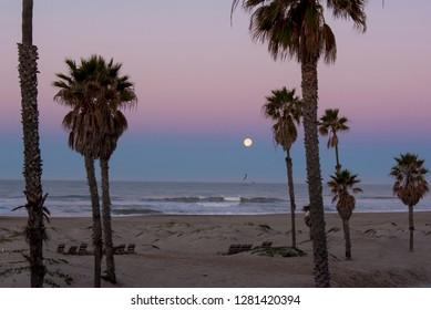 Usa, California, Oxnard. Gulls fly above water pre dawn in full moonset.