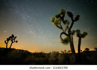 USA, California, San Bernadino County, Joshua Tree National Park: A looselybranched Joshua Tree (Yucca brevifolia)  under a star filled night time sky.