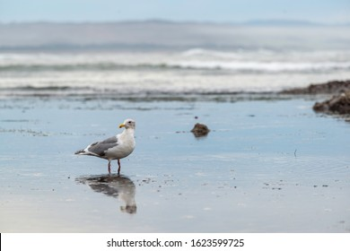 USA, California, San Mateo County, Half Moon Bay. An American herring gull (Larus argentatus smithsonianus) wading in the surf of the Mavericks. This species is also known as a Smithsonian gull,