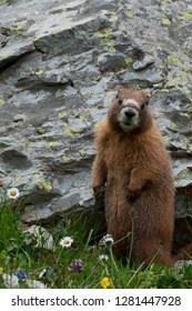 Usa, Colorado, American Basin, Yellow-bellied marmot (Marmota flaviventris) among the grasses and wildflowers in sub-alpine regions