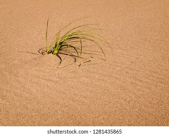 USA, Colorado, Great Sand Dunes National Park and Preserve. Blowout grass grows on a dune