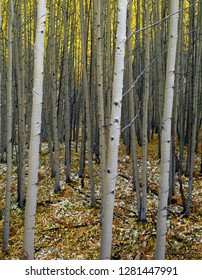 USA, Colorado, Gunnison National Forest, Grove of quaking aspen (Populus tremuloides) in fall with leaves and remnant snow on forest floor.