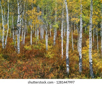 USA, Colorado, Gunnison National Forest, Fall colored grove of quaking aspen (Populus tremuloides) in the West Elk Mountains.