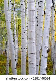 USA, Colorado, Gunnison National Forest, Large white trunks of mature quaking aspen (Populus tremuloides) with autumn foliage.