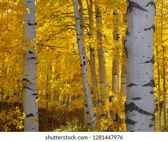 USA, Colorado, Uncompahgre National Forest, Fall colored leaves of quaking aspen (Populus tremuloides) glow in morning sun.