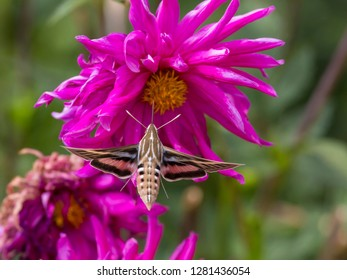 USA, Colorado. White-lined sphinx moth feeds on flower nectar. Credit as: Fred Lord / Jaynes Gallery / DanitaDelimont.com