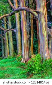 USA, Hawaii, Maui, Rainbow Eucalyptus Trees (Eucalyptus deglupta)