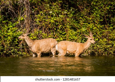 USA, Idaho, Columbia River Basin, Snake River Basin, Hells Canyon reach of Snake River, mule deer at the river's edge (urinating in safety so predators can't track them)