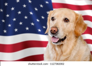 USA independence day concept, with american staffordshire terrier dog and stars and stripes flag in studio. Young pitbull dog or trained service dog in bandana posing in front of the US flag in studio