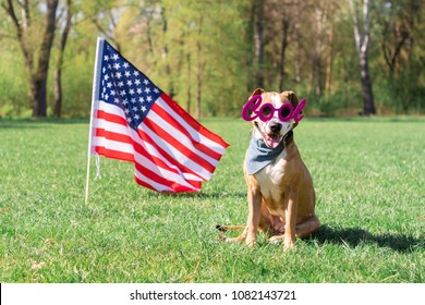 "USA independence day and dog concept. Cheerful and happy staffordshire terrier dog in ""cool"" masquerade eyeglasses sits at lawn in front of the USA flag in park"