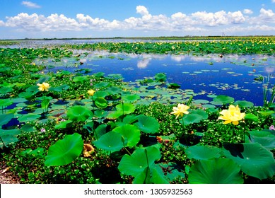 USA, Louisiana, Water lilies along the Creole Nature Trail, Louisiana Outback