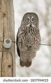 USA, Minnesota, Sax-Zim Bog. Great gray owl on power line.