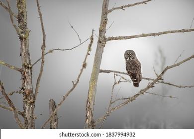 USA, Minnesota, Sax-Zim Bog. Great gray owl on tree branch on foggy winter morning.