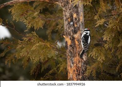USA, Minnesota, Sax-Zim Bog. Male hairy woodpecker on tree trunk.