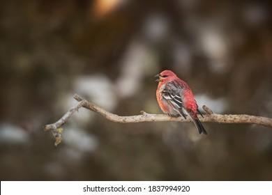 USA, Minnesota, Sax-Zim Bog. Pine grosbeak male singing.