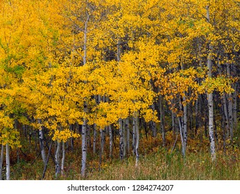 USA, Montana, Glacier National Park, Autumn-colored grove of quaking aspen (Populus tremuloides) near Saint Mary Lake.