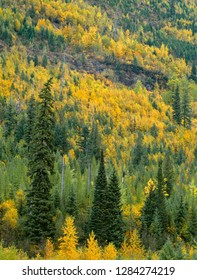 USA, Montana, Glacier National Park, Fall-colored poplars: quaking aspen, cottonwood and birch, and conifers in upper McDonald Valley.