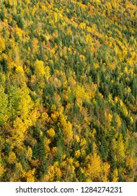 USA, Montana, Glacier National Park, Evening light on forested slopes with fall colored poplars: quaking aspen, cottonwood and birch, standing out among conifers.